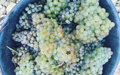Druivensoorten